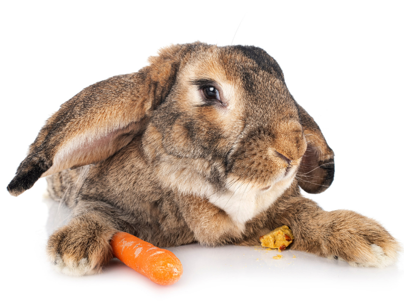Flemish Giant Rabbit with Carrot